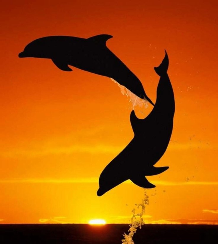 Dolphin jumping in sunset making a heart